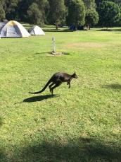 Wallaby at the basin